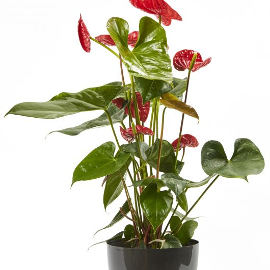 Παχύφυτο με Κόκκινα Άνθη