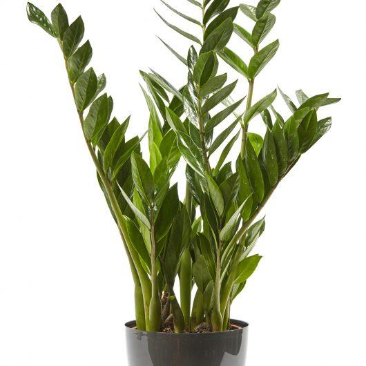 Φυτό Εσωτερικού Χώρου με γλάστρα